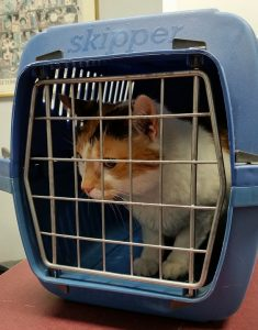 a white and yellow cat transported in a blue carrier makes relocating with cats easier