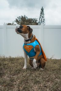 dog in superman costume