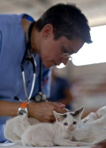 A white kitten being checked by a vet before moving with pets