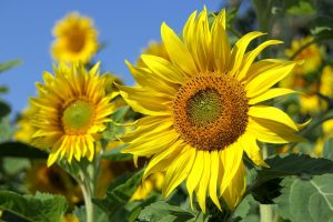 sun flowers in the summer