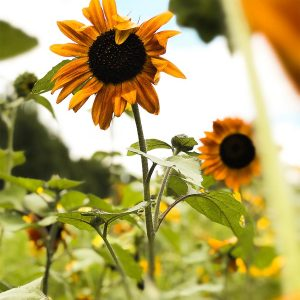 Sunflowers you will enjoy when moving from NYC to Raleigh